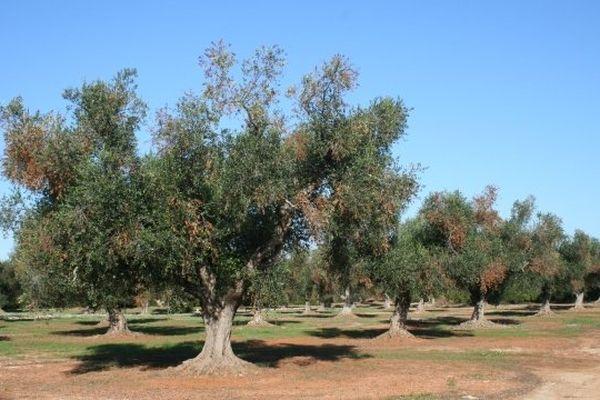 ARCHIVES - Oliviers infectés par la bactérie Xylella Fastidiosa dans le sud de l'Italie