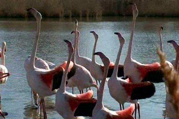 Camargue - C'est la période des amours et de la parade nuptiale du flamand rose - février 2013.