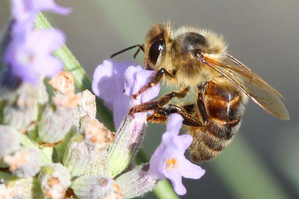 Dans le monde, uninsecte pollinisateur sur dix est en voie d'extinction.