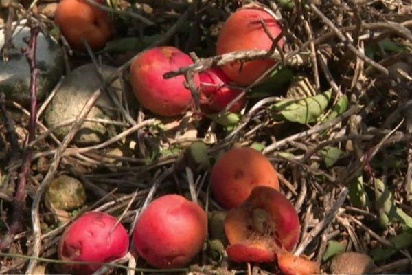 Les abricots sont impropres à la vente
