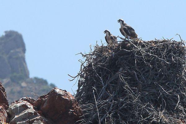 Un nid de balbuzards dans la réserve de Scandola.