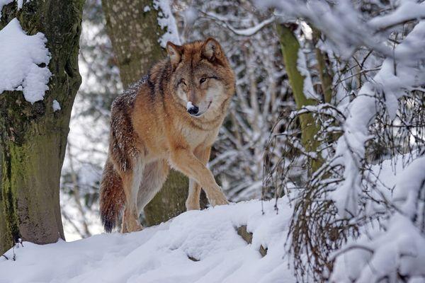 Le loup avait été abattu en septembre dernier (image d'illustration)