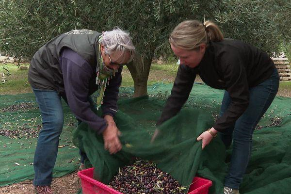Finies les récoltes au panier : les olives secouées mécaniquement tombent sur les bâches avant d'être ramassées.