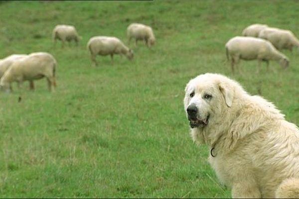 Dans le Jura, pour lutter contre les attaques de lynx ou de loup, les éleveurs peuvent bénéficier d'un chien de protection par intérim, le patou d'urgence. Une expérience unique en France et assurée pour l'instant, par un seul chien : Domino.