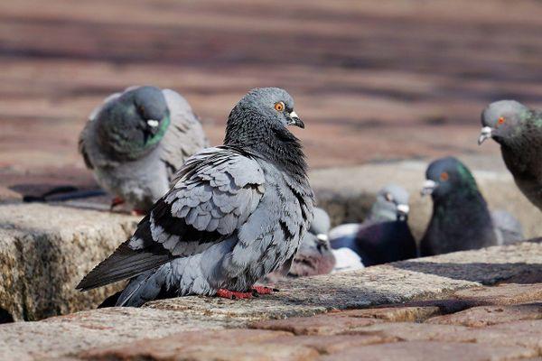 les pigeons en ville