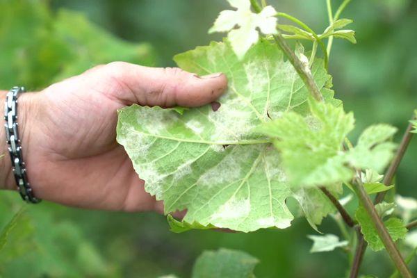 La vigne contaminée au mildiou dans l'Aisne - Juillet 2021