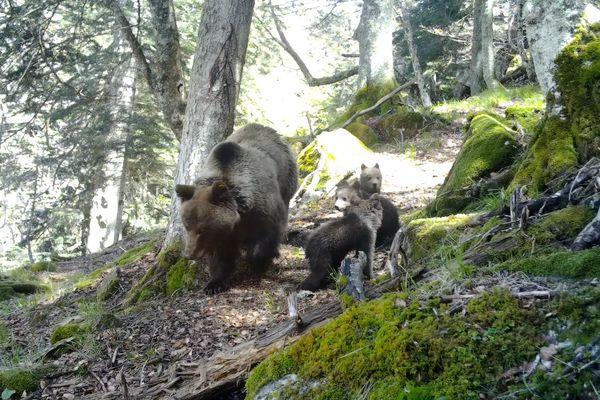 Capture d'écran de la vidéo de Sorita et de ses trois oursons, filmés par une caméra automatique installée par les agents du parc national des Pyrénées, le 17 mai dans le secteur du Pic du midi d'Ossau, en Béarn.