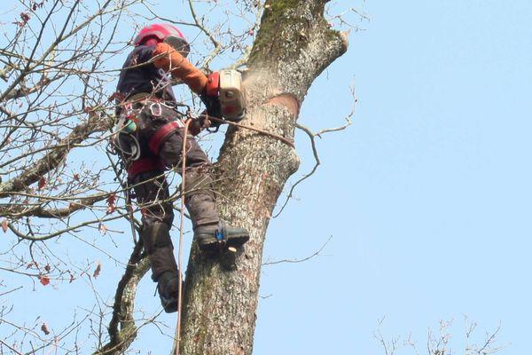 Les élagueurs préparent les arbres pour qu'ils ne s'abîment pas en tombant.