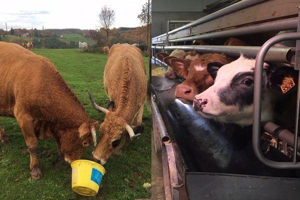 Veaux en liberté ou en batterie, autre élevage, autre viande