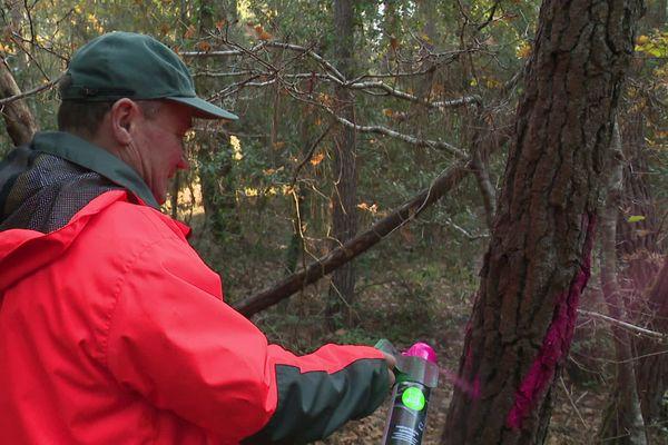 Les agents de l'ONF interviennent dans la Forêt de la Coubre, au nord de Royan, pour sélectionner les arbres à abattre.