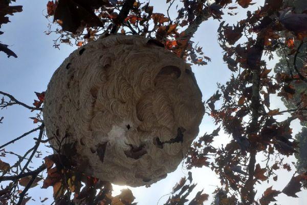 Ce nid de frelons asiatiques, exceptionnel par sa taille de 2m de largeur, abritait une colonie de 1000 individus. Comme à leur habitude les frelons l'avaient construit autour d'une branche en mâchant de l'écorce de bois.