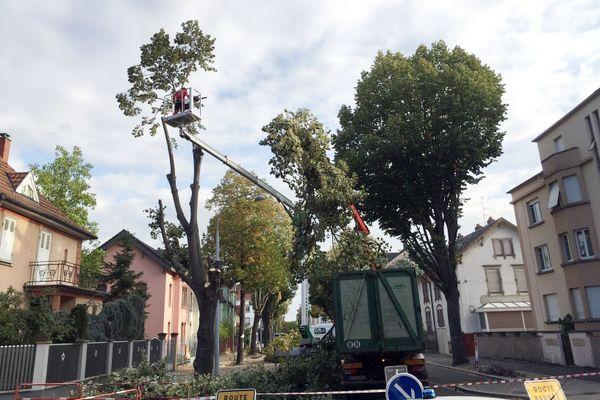 Les bûcherons de l'ONF ont commencé l'abattage des 18 tilleuls de la rue Charles Grad à Colmar dès 8 heures, ce jeudi matin.