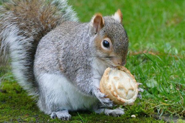 La prolifération des écureuils gris outre-Manche menace leurs congénères roux.