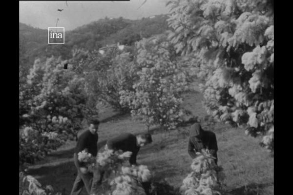 Dans les années 50, la cueillette du mimosa à Tanneron