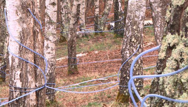 Les tuyaux qui récoltent la sève de bouleau au tronc de chaque arbre sont reliés à un réseau de 6 km de long.