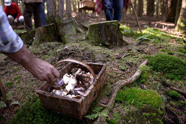 La cueillette des champignons est soumise à une réglementation en termes de quantité.