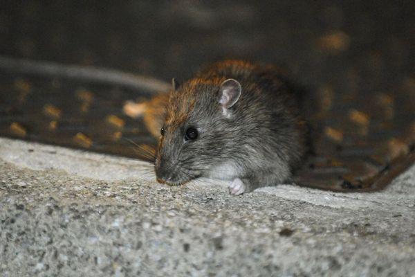 Les rats sont un fléau récurrent à Marseille dans tous les quartiers.