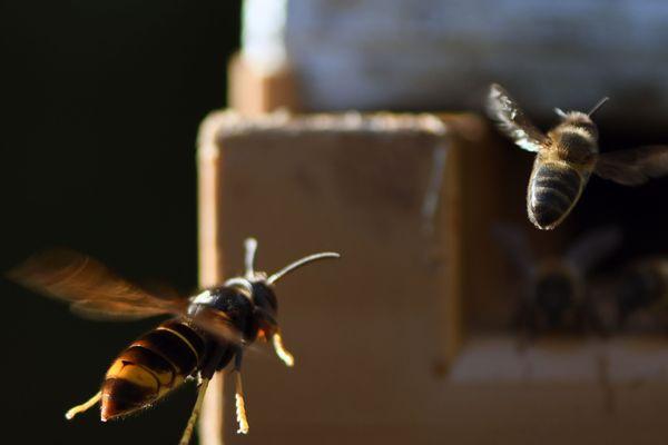 Un frelon asiatique poursuit une abeille