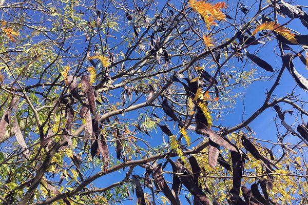 En novembre, les fruits du robinier faux-acacia en forme de gros haricot plat noircissent pendant que ses feuilles passent du vert au jaune vif.