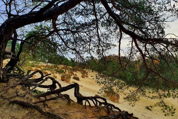 De nombreux pins sylvestre poussent aux abords de la grande sablière de Châlons-sur-Vesle.