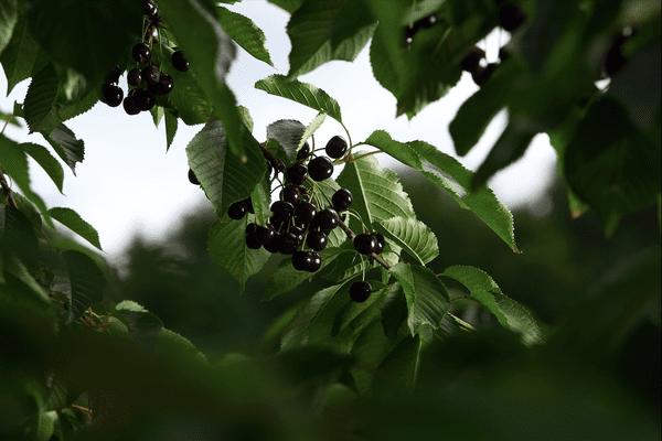 Après leur récolte, au mois de juillet, les cerises à kirsch de Fougerolles sont mises en fûts durant 5 semaines, une fermentation nécessaire pour la distillation.