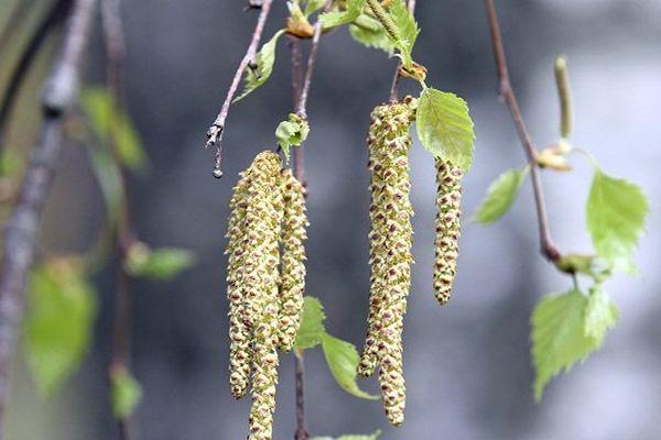 Le pollen de bouleau pourrait provoquer des allergies au début du mois de Mai