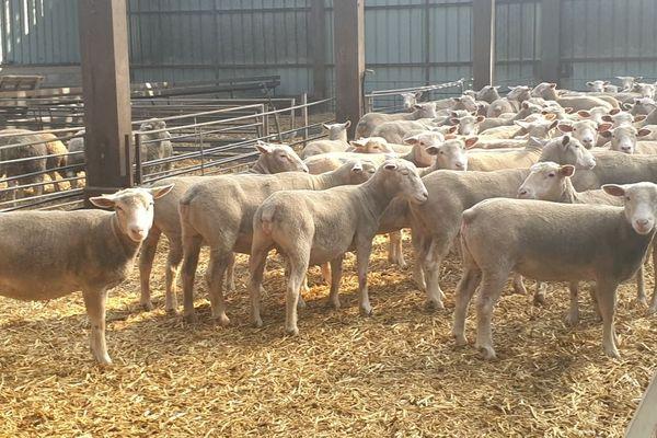 Après l'attaque, les brebis d'Aurélien Poupart retrouvent le calme dans la bergerie.