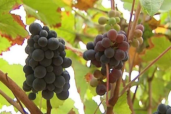 Le raisin arrivé à maturation, malgré les intempéries