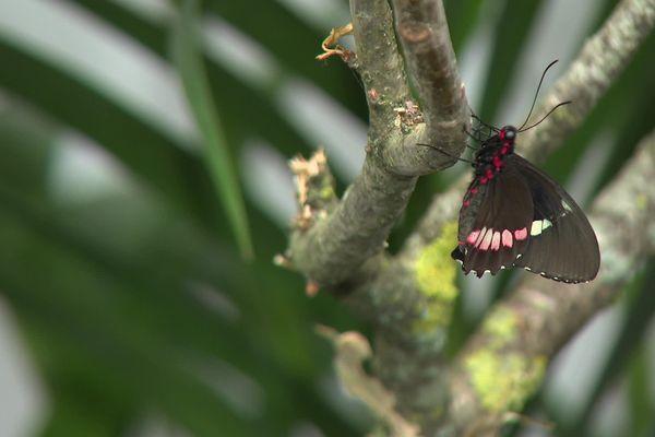 """Les papillons de la """"Volière du Pantanal"""" sont tous nés sur place, mais leurs espèces sont originaires du Costa-Rica ou de l'Equateur."""