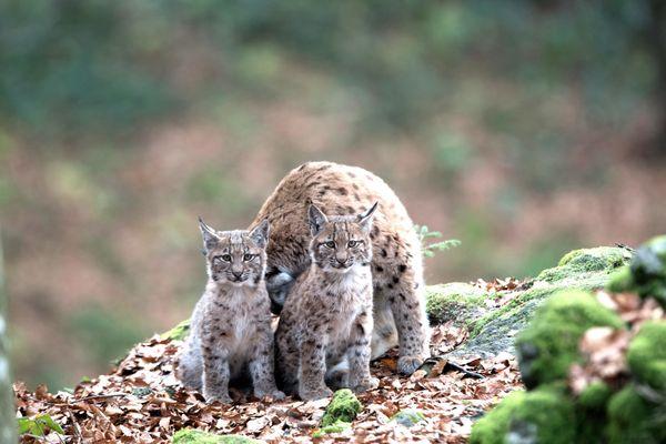 Un lynx et ses petits.