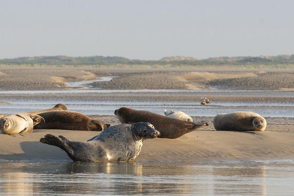 Les phoques sont nombreux dans la baie d'Authie.
