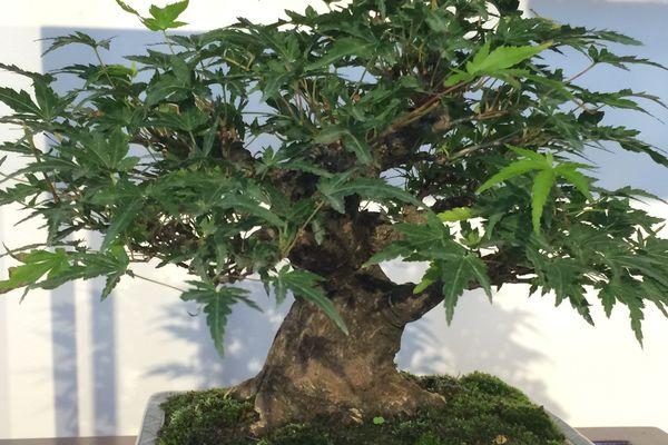 Certains bonsaïs français rivalisent de beauté avec les specimens japonais.