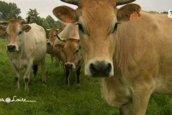 les vaches nantaises à Bouguenais (44)