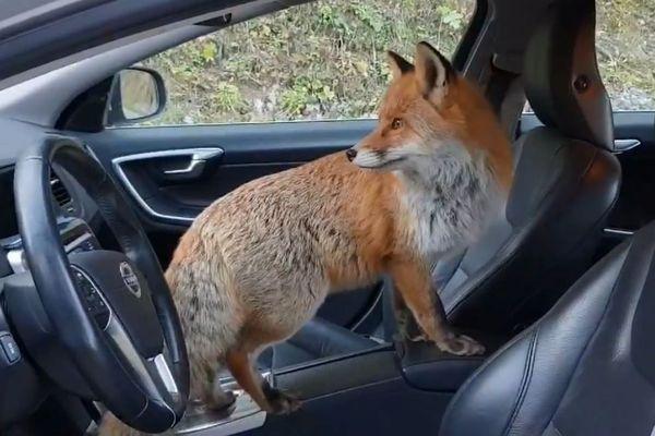 Le Suisse a eu affaire à un renard bien peu farouche