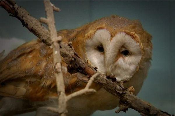 Une chouette naturalisée au musée de la nature à Allouville Bellefosse
