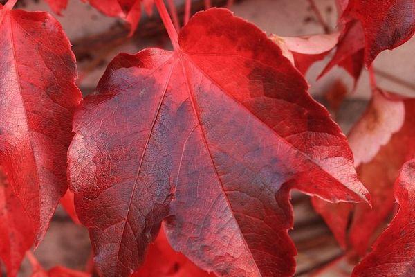 Les feuilles d'automne se ramassent à la pelle