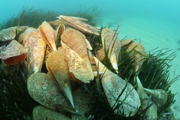 Novembre 2018 : des plongeurs retrouvent 80% des grandes nacres mortes dans la baie de Villefranche-sur-Mer.