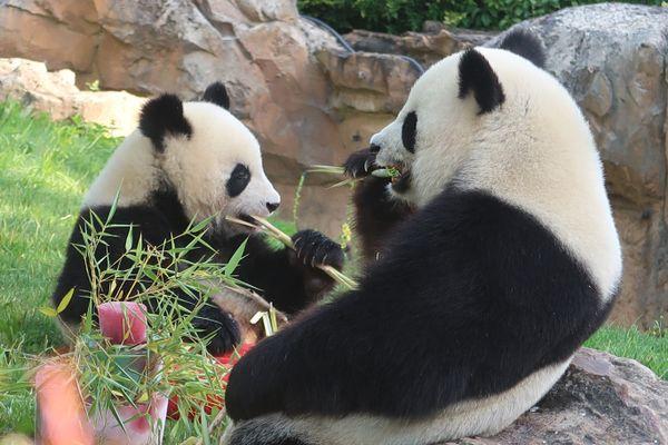Les pandas du zoo de Beauval, en 2019.