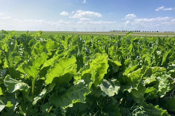 Un champ de betteraves sucrières dans la Marne, le 13 août 2021, qui devra être détruit à cause de l'utilisation d'herbicides non-conformes.