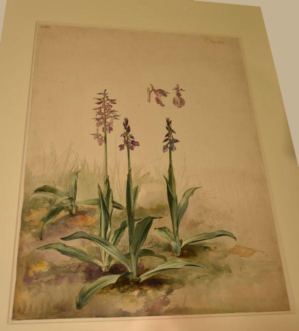 Orchis - Une orchidée sauvage de France