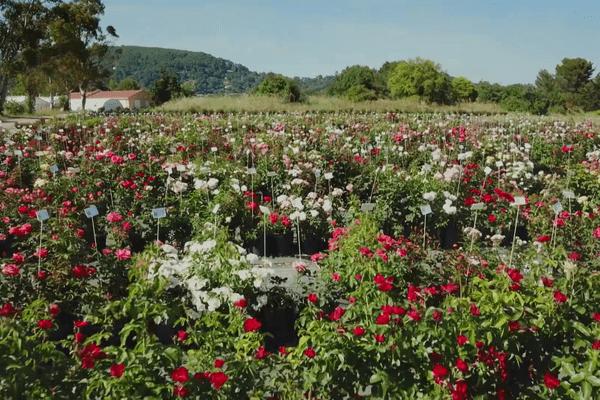La rose est la fleur la plus vendue au monde
