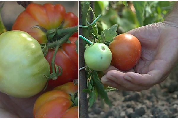 Les tomates alsaciennes tardent à rougir.