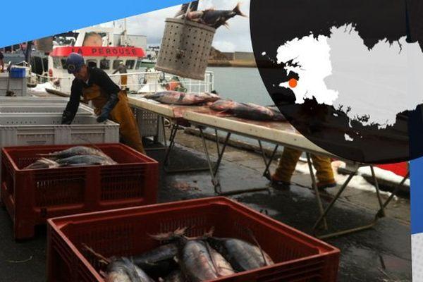 Sur le port de Douarnenez, on décharge le poisson