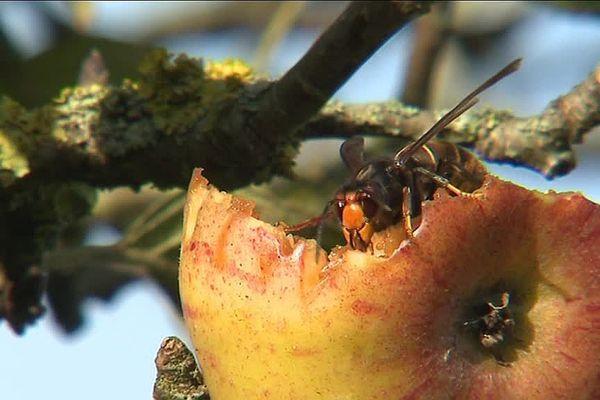 Le frelon asiatique, tueur d'abeilles et bête noire des apiculteurs.