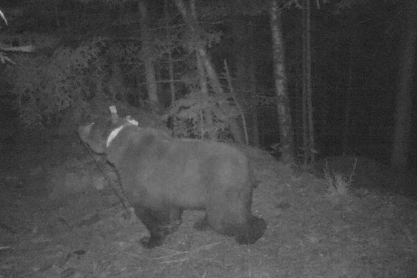 L'ours Goiat photographié en Espagne.