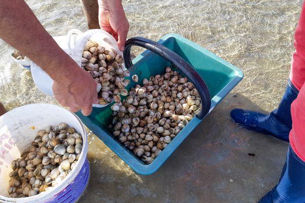 La pêche aux coques au Hourdel est ouverte.