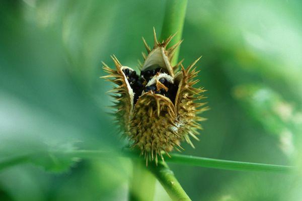 Le fruit du datura est une capsule portant de grosses épines