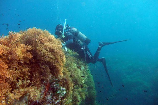 Plongée au large des îles de Lérins (Cannes) pour implanter les algues.