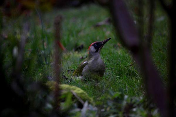 """Parmi les oiseaux que vous pourrez répertorier ce week-end, les pics verts, une espèce classée comme """"commune"""" en France."""