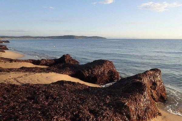Des posidonies présentes sur les plages de Méditerranée.